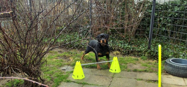 Rottweiler vásárlás előtt